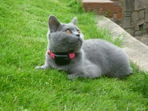 grey cat with cat fence collar for use with a containment fence