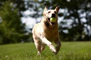 Labrador running with tennis ball