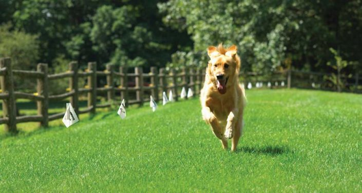 golden retriever running with dog fence flags in back ground