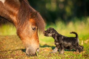 Miniature schnauzer puppy with pony