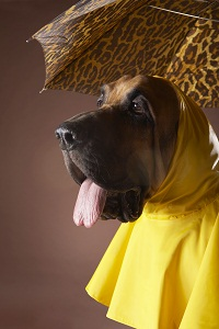 Dog wearing yellow raincoat