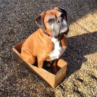 Lionel the famous dog fence Boxer sitting in box