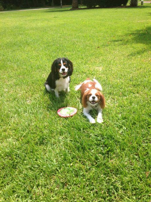 Cavalier King Charles Spaniels with a frisbee and dog fence collars