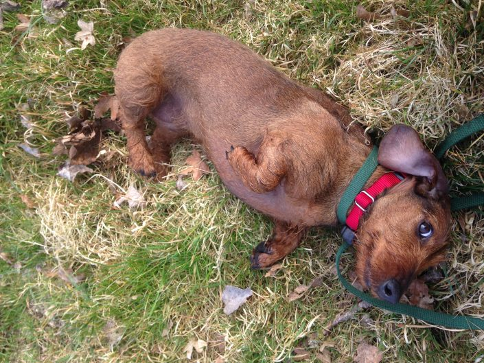 Wired hair Dachshund lying down for tummy rub after dog fence training