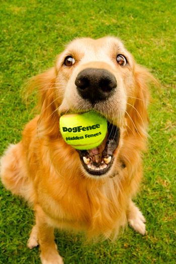 A dog fence fan with a dog fence tennis ball in his mouth