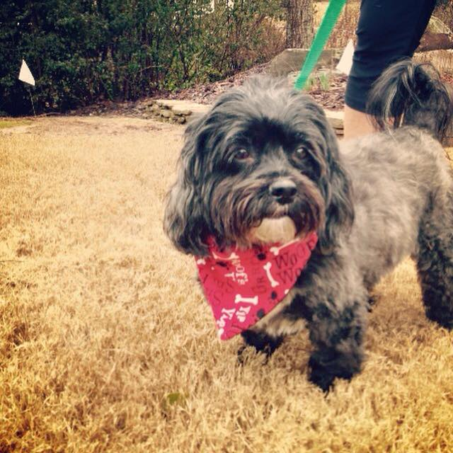 Terrier with a red bandanna and dog fence collar