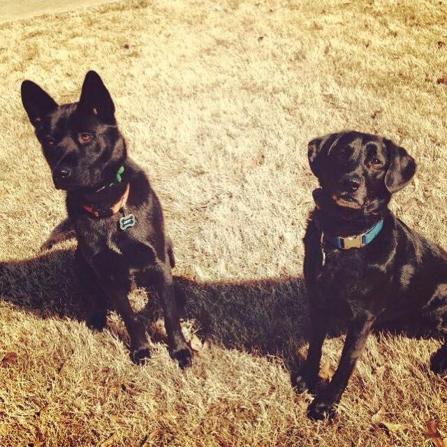 two black labs posing for a picture with their dog fence collars