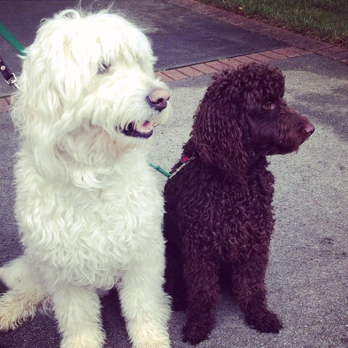white ladraboodle and brown poodle wearing dog fence collars