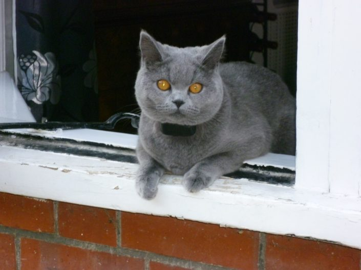 cat sitting in window wearing a dog fence collar