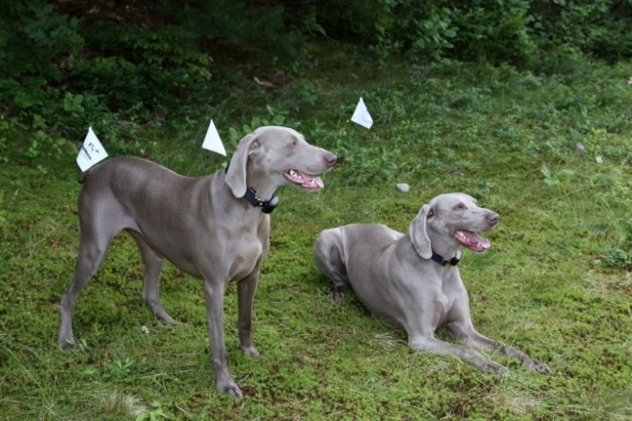 2 weimaraners with dog fence collars