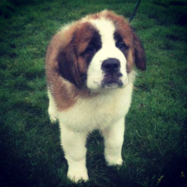 handsome St Bernard puppy using the dog fence