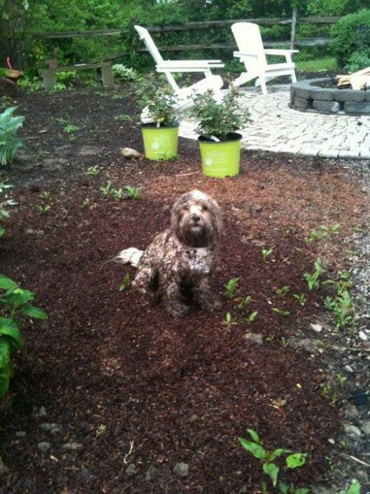Cockapoo playing in the dog fence boundary all covered in mud