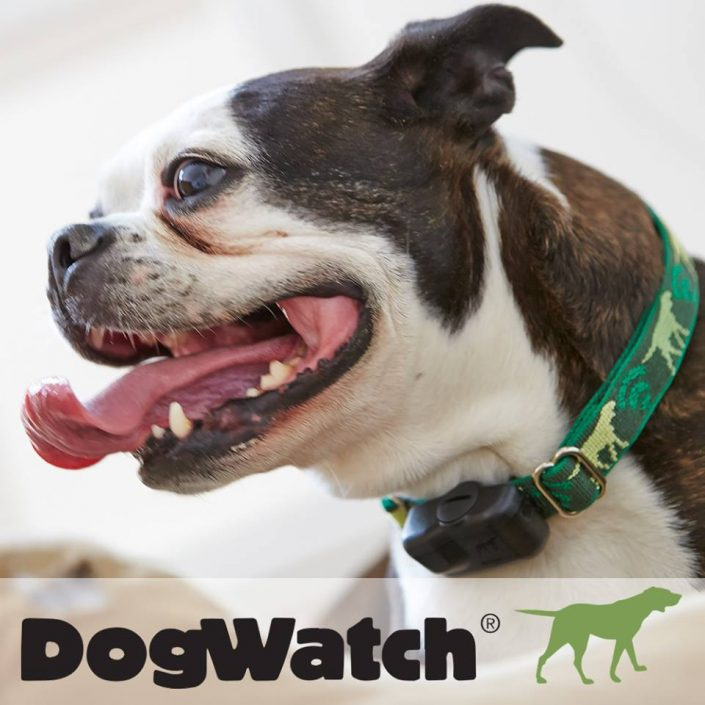 Boston Terrier wearing dog watch collar