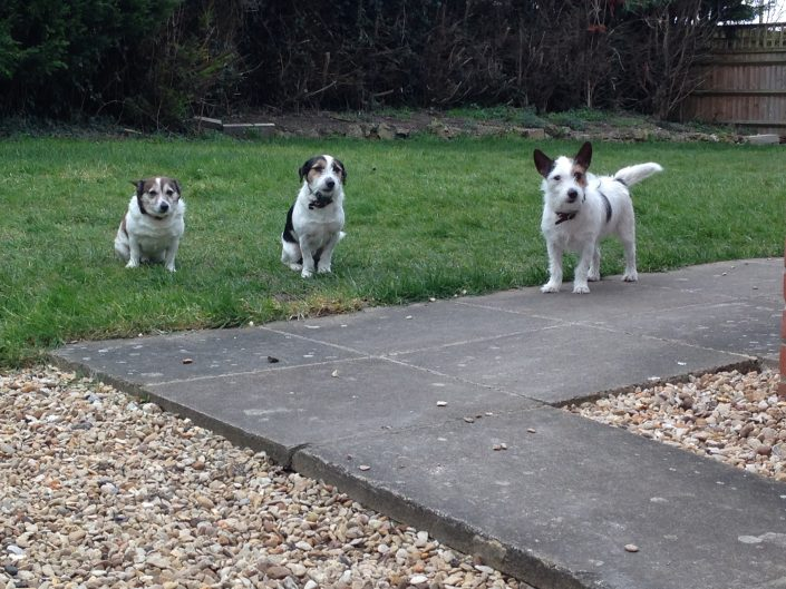 the three dog fence musketeers - our office staffs terriers