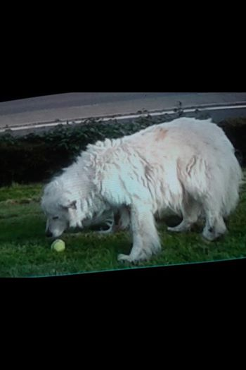 very old retriever with dog fence tennis ball