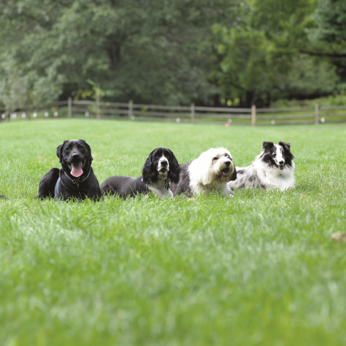 Dog fence photo shoot, Lab Spaniel, Sheepdog and Colle in the grass