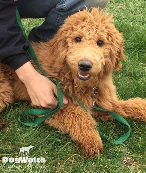Labradoodle with training lead and dog fence collar