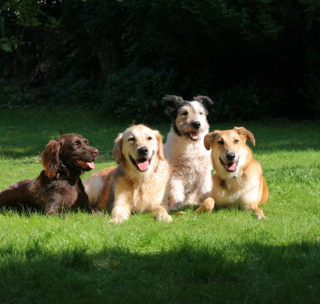 Group shot of dogs for dog fence photo shoot all laying on the grass enjoying the sun