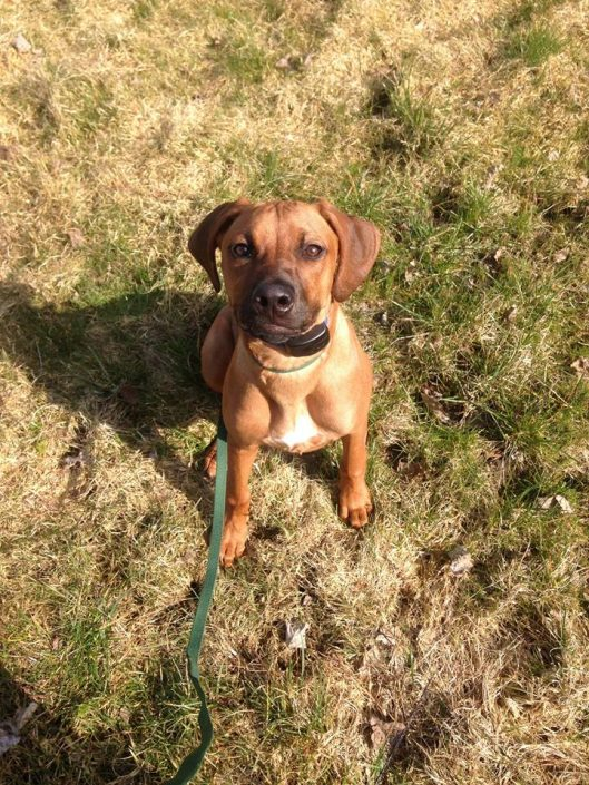 Ridgeback puppy ready to learn the dog fence system