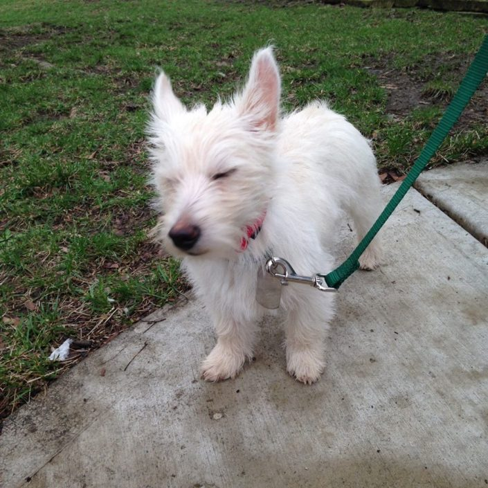 Cute westie puppy in training for dog fence