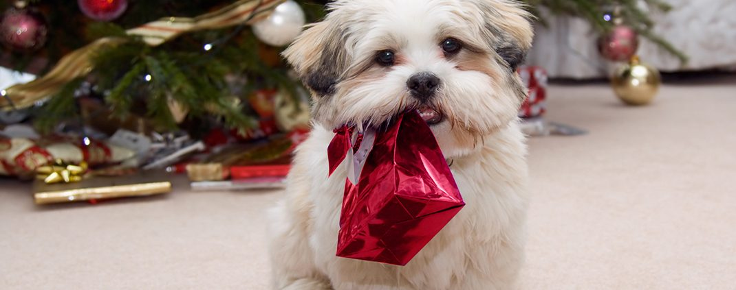 Puppy Unaware of Canine Christmas Dangers