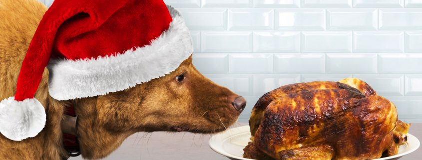 christmas dog staring at a roast chicken