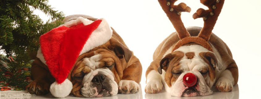 bulldogs sleeping next to a christmas tree