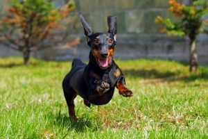 dog fence is faster than freedom fence - dachshund running
