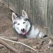 husky dog escaping out of garden