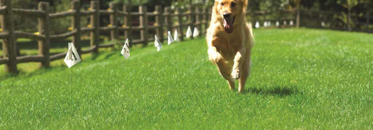 Golden Retriever running along boundary marked with containment fences