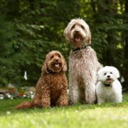 three poodle cross breeds wearing electric dog fences collars