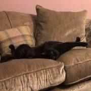 Black cat laying on sofa wearing cat fence collar
