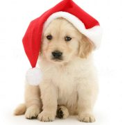 a dog is for life - retriever puppy in santa hat