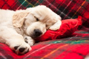 a dog is for life - retriever puppy sleeping