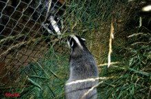 Stock Fencing is not a good dog proof fencing idea as badgers can make holes and crawl through