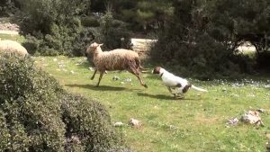 dog chasing sheep