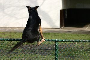chain link dog fencing being climbed by dog