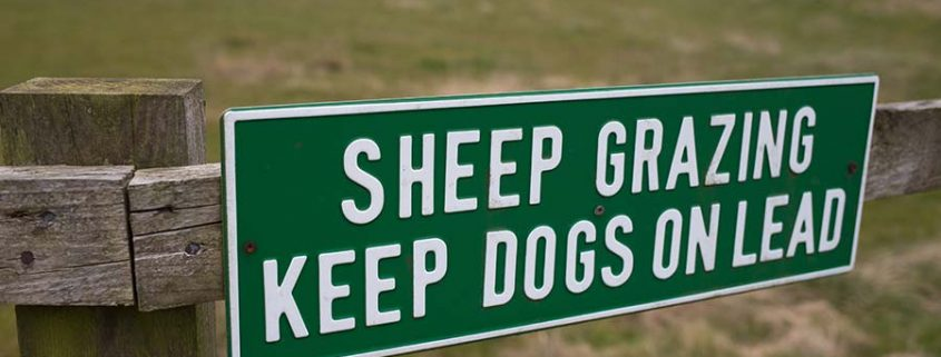 sheep grazing keep dogs on lead to stop dog sheep chasing sign