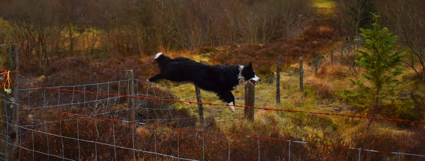 dog fencing idea gone wrong - Collie leaping over net fence in countryside
