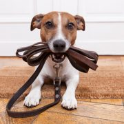 dog with lead - no dog fence collar on